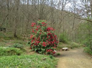 Rododendro alla Casetta - 6-4-2014