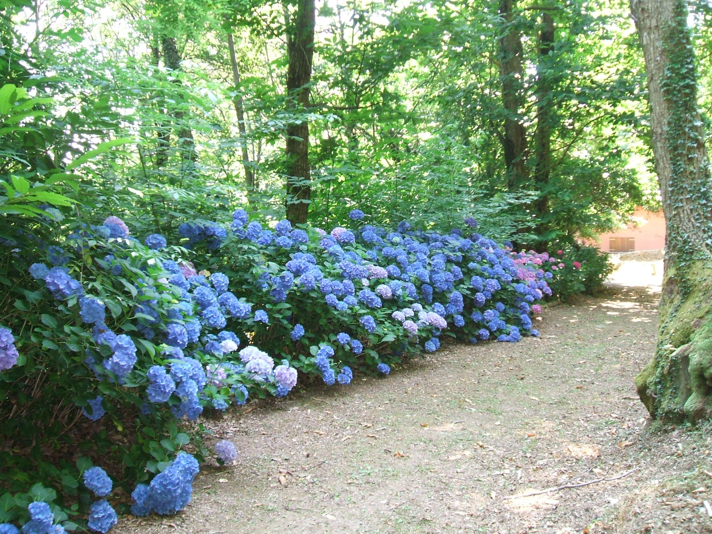 Ortensie Blu : Sinfonia di ortensie quot la casetta del bosco