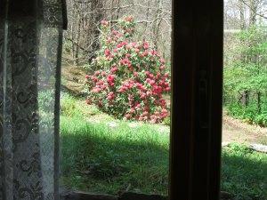 Rododendro in fiore: visto dalla finestra della Casetta il 15 Aprile scorso