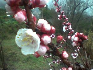 Albicocco in fiore alla Casetta